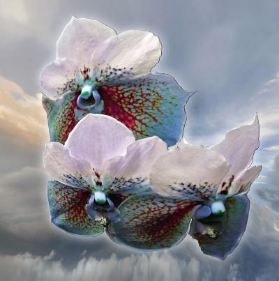 Fleur de Celeste