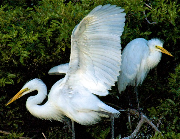 Two Egrets